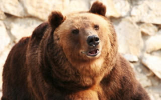 Male Croatian Bears Observed Having Oral Sex