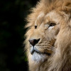 Kenyan official explains gay lions by blaming gay people