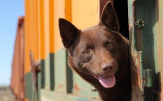 Review | 'Koko: A Red Dog Story' honours an extraordinary Australian