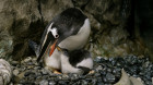 Gay penguins Sphen and Magic have adopted a new baby