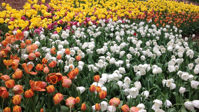 Tulips 2013 1 LR-001
